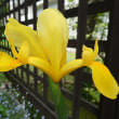 綺麗な黄色のアイリス (2018年4月30日撮影)