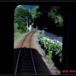 列車から紫陽花を撮る。
