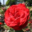 手柄山のバラ
