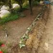 グリーンカーテン 苗植え