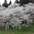 荘川桜と臥龍桜