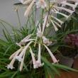 玄関の春の花