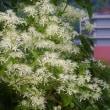 白い花が咲いている
