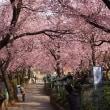 午前は桜、午後は金龍の舞