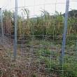 サトウキビ畑の(リュウキュウ)イノシシ避けの柵