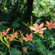 【京都園芸倶楽部Facebook】先週の植物(2017年8月6日~12日)