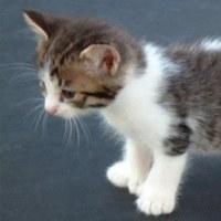 子猫のマンクス