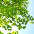 緑児のグウチョキパアに若葉萌え古代のわらべとジャンケンポン  〔わらべは、ヘブライ語では、ワラッベン、ありがとうは、ヘブライ語ではアリ・ガド、日本語とヘブライ語の類似性、共通性について〕