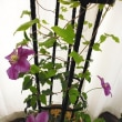 今年のクレマチスの花は、たった四つ・・・(;´・ω・)