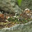 「岩鬚が咲きました」 MY GARDEN 2018.05.18撮影