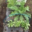 冬春に向けての畑だより♫ 白菜レシピ💛