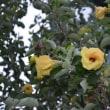 ハマボウって言う花