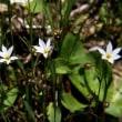 ネジキの花