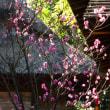 『1月の梅』 鴫立庵