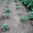 ジャガイモの芽欠きをしました