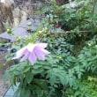 今年も皇帝ダリアが咲きました