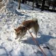 ハナちゃんお散歩 ⛄雪の中⛄