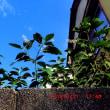 ヨウシュヤマゴボウの花久しぶりで見た、今日は夏至やったのね~♪