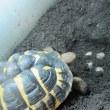 本日二度目の産卵 ニシヘルマンリクガメのルナ