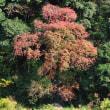 15mくらいもある赤茶色のモミジはまるでクマのプーさんのようです。 (Photo No.14113)