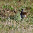 公園芝地で鳥見:オオカワラヒワ