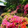 『季節の花』 サツキ