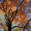紅葉木洩日