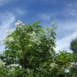 ホツツジが咲いたよ!