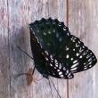 庭に、こんな珍しい蝶、飛来「すみながし」、修正して再報告です。。