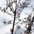 相模大野の緑道で桜が咲いていました。