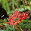 ヒガンバナとアゲハ・野川公園自然観察園