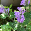 紫タツナミソウ