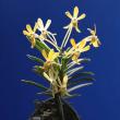 過去開花の「黄龍」の花