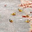 カワラヒワの大群がモミジバフウのタネを食べにやってきました。