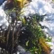 泥んこ山牛蒡 こんにちわ と 雪畑  (菜人)