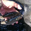 狩野川、ドベタな釣りで嫌気!