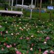 蓮の花の季節