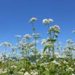 会津下郷の蕎麦の花