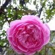 薔薇に感謝を込めて