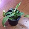 食虫植物の旅立ち&出会い 食虫植物8