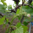 梨の木に実いっぱい