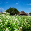 2018 白いそば花咲く吉野ヶ里歴史公園 《佐賀県神埼郡吉野ヶ里町》