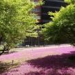 東京都港区三田で芝桜