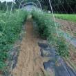 ミニトマトのソバージュ栽培、3段目の誘因。