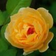 庭のお花達 シュウメイギク・ハドスペン他