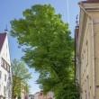2018.05.24 エストニア タリン 旧市街: 大樹がある光景