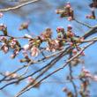 上野公園 枝垂れ桜、大寒桜、寒緋桜