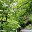 正暦寺の青モミジ