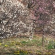 都市農業公園の梅(2)