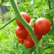 たっぷりトマト